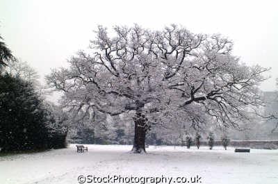 oak tree blizzard winter seasons seasonal environmental uk london cockney england english angleterre inghilterra inglaterra united kingdom british