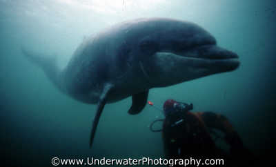 freddy diver dolphins tursiops flippers marine life underwater diving truncatus benny sutton northumberland northumbrian england english angleterre inghilterra inglaterra united kingdom british