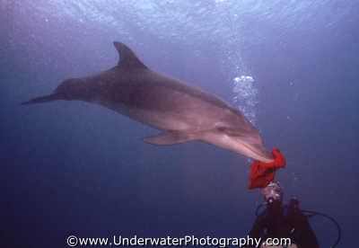 dolphin hanky dolphins tursiops flippers marine life underwater diving truncatus benny sutton israel jewish middle east israeli