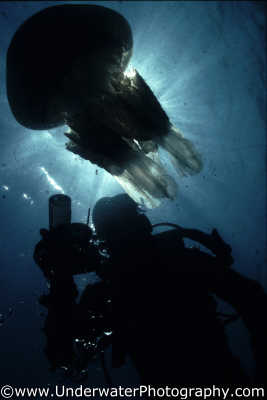 jellyfish diver silhouette floating planktonic marine life underwater diving rhizostoma pulmo benny sutton england english angleterre inghilterra inglaterra united kingdom british