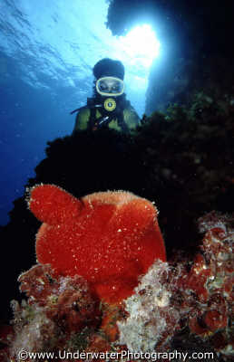 diver red sponge sponges attached marine life underwater diving halocynthia papillosa benny sutton malta maltese europe european