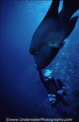 diver tickling humphead wrasse egypt marine life creatures divers diving people scuba underwater cheilinus undulatus touch interact benny sutton red sea pharoh middle east egyptian