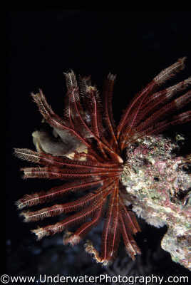 featherstar spiny skinned marine life underwater diving crinoid benny sutton red sea egypt pharoh middle east egyptian