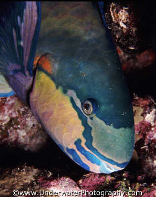 parrot fish pisces marine life underwater diving scarus scaridae sleep sleeping benny sutton red sea egypt pharoh middle east egyptian