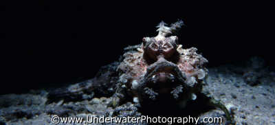 scorpionfish stonefish fish pisces marine life underwater diving scorpaenopsis ugly benny sutton red sea egypt pharoh middle east egyptian