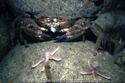 velvet crab eating fish crabs jointed limbed marine life underwater diving liocarcinus puber benny sutton scottish borders scotland scotch scots escocia schottland united kingdom british