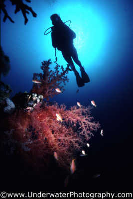 diver dendronophyta soft coral corals attached marine life underwater diving silhouette benny sutton red sea egypt pharoh middle east egyptian