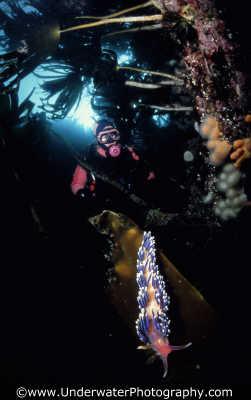 diver nudibranch nudibranchia worm like marine life underwater diving benny sutton scottish borders scotland scotch scots escocia schottland united kingdom british