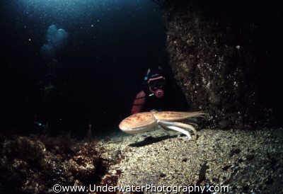 diver octopus tentacles free swimming marine life underwater diving vulgaris benny sutton scottish borders scotland scotch scots escocia schottland united kingdom british
