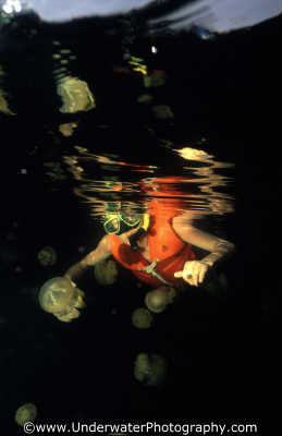 jellyfish lake man ablj floating planktonic marine life underwater diving saltwater medusae benny sutton palau micronesia pacific oceanic sea oceans palaun