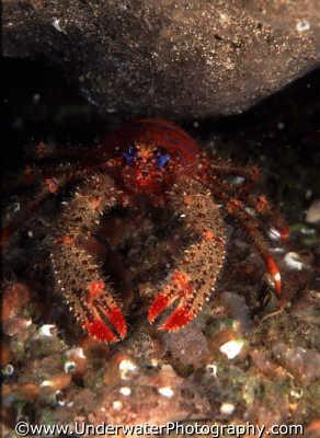 squat lobster crevice lobsters jointed limbed marine life underwater diving galathea strigosa benny sutton scottish borders scotland scotch scots escocia schottland united kingdom british