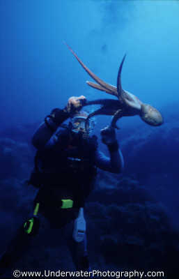diver fighting octopus tentacles free swimming marine life underwater diving vulgaris catch benny sutton cyprus europe european cypriot