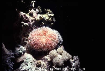 crown thorns view spiny skinned marine life underwater diving benny sutton red sea egypt pharoh middle east egyptian