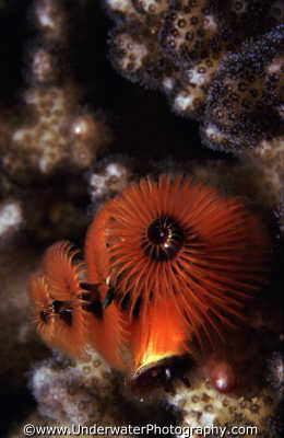 red xmas tree worms worm like marine life underwater diving benny sutton israel jewish middle east israeli