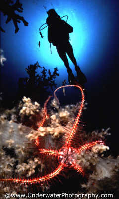 diver brittlestar spiny skinned marine life underwater diving benny sutton red sea egypt pharoh middle east egyptian