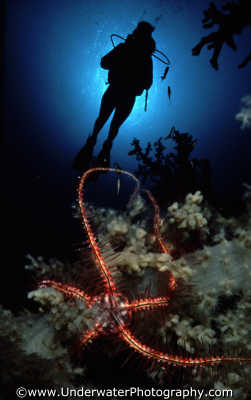 brittle star silhouetted diver spiny skinned marine life underwater diving benny sutton red sea egypt pharoh middle east egyptian