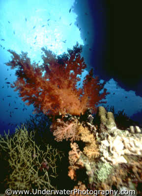 dendronophtya coral scenic corals attached marine life underwater diving benny sutton red sea egypt pharoh middle east egyptian