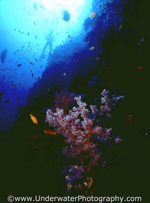 dendronophtya swimmer corals attached marine life underwater diving benny sutton red sea egypt pharoh middle east egyptian