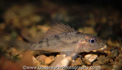ruffe freshwater seascapes scenery scenic underwater marine diving gymnocephalus cernua benny sutton england english angleterre inghilterra inglaterra united kingdom british