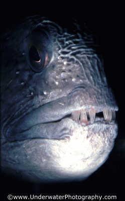 wolfish right profile elongated fish pisces marine life underwater diving benny sutton scottish borders scotland scotch scots escocia schottland united kingdom british