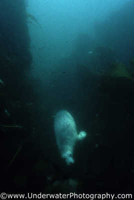 seal swimming camera distance seals flippers marine life underwater diving halichoerus grypus benny sutton northumberland northumbrian england english angleterre inghilterra inglaterra united kingdom british