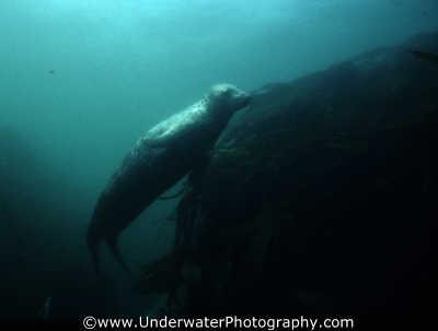 seal swimming upwards seals flippers marine life underwater diving halichoerus grypus benny sutton northumberland northumbrian england english angleterre inghilterra inglaterra united kingdom british