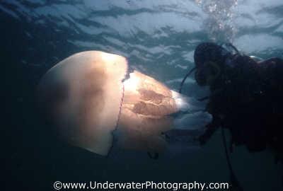 rhizostoma pulmo jellyfish swimming backlit diver floating planktonic marine life underwater diving benny sutton england english angleterre inghilterra inglaterra united kingdom british