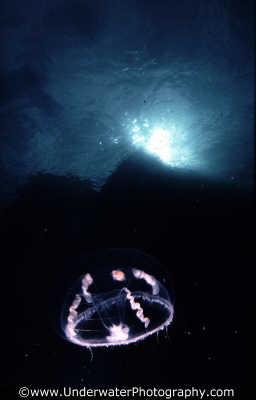 translucent jellyfish surface floating planktonic marine life underwater diving benny sutton scottish borders scotland scotch scots escocia schottland united kingdom british