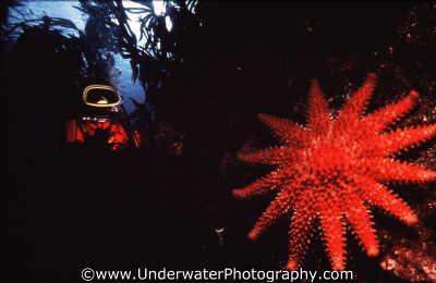 diver sunstar starfish spiny skinned marine life underwater diving benny sutton scottish borders scotland scotch scots escocia schottland united kingdom british