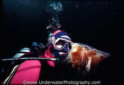 diver looking jellyfish close floating planktonic marine life underwater diving lions mane benny sutton scottish borders scotland scotch scots escocia schottland united kingdom british