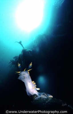 yellow tip nudibranch kelp sunburst nudibranchia worm like marine life underwater diving benny sutton scottish borders scotland scotch scots escocia schottland united kingdom british