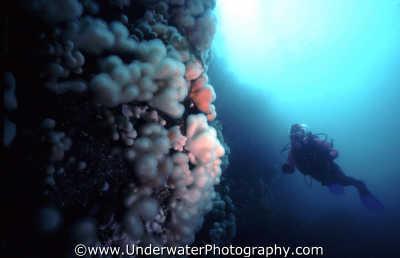 diver distance plumose wall temperate waters cold water seascapes scenery scenic underwater marine diving benny sutton scottish borders scotland scotch scots escocia schottland united kingdom british