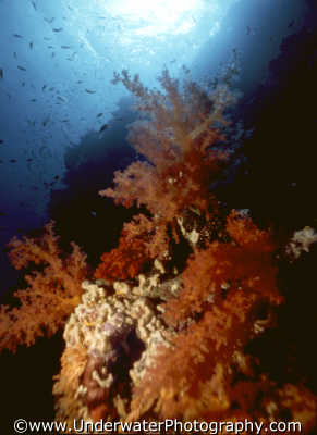 coral scene corals attached marine life underwater diving benny sutton red sea egypt pharoh middle east egyptian
