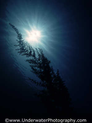 weed silhouhette kelp attached marine life underwater diving benny sutton england english angleterre inghilterra inglaterra united kingdom british