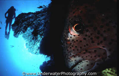 diver fan coral grouper ras muhammed corals attached marine life underwater diving benny sutton red sea egypt pharoh middle east egyptian