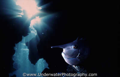 unicorn fish cave elongated pisces marine life underwater diving benny sutton red sea egypt pharoh middle east egyptian