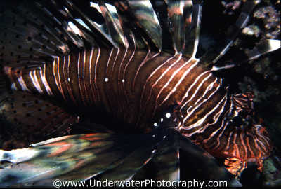 lionfish fish pisces marine life underwater diving benny sutton red sea egypt pharoh middle east egyptian