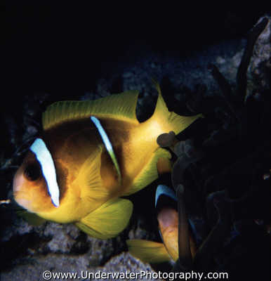 clownfish dark background fish pisces marine life underwater diving amphiprion bicinctus benny sutton red sea egypt pharoh middle east egyptian