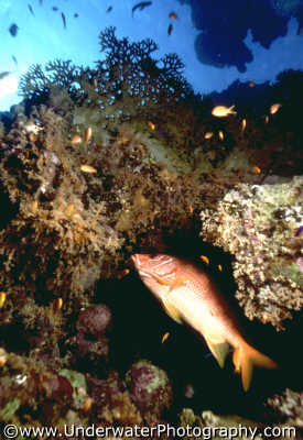 fish coral pisces marine life underwater diving millepora benny sutton red sea egypt pharoh middle east egyptian