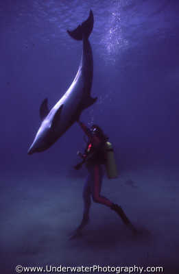 diver touching dolphin tail seabed dolphins tursiops flippers marine life underwater diving israel jewish middle east israeli
