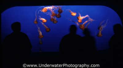 venemous jellyfish monterey bay aquarium tank floating planktonic marine life underwater diving california californian usa united states america american