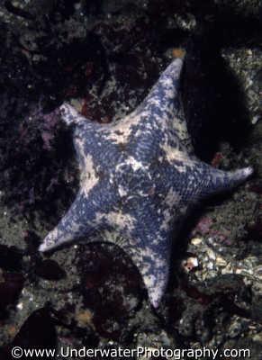 starfish spiny skinned marine life underwater diving ecinoderms monterey california californian usa united states america american