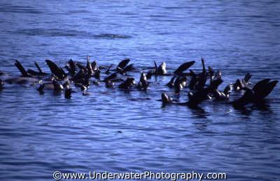 sea lions rafting sealions flippers marine life underwater diving mammal monterey california californian usa united states america american