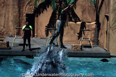 performing dolphins windsor safari park lifting trainer water tursiops flippers marine life underwater diving england english angleterre inghilterra inglaterra united kingdom british