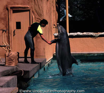 performing dolphin windsor safari park shaking hands dolphins tursiops flippers marine life underwater diving england english angleterre inghilterra inglaterra united kingdom british