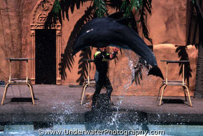 performing dolphin windsor safari park jumping stick dolphins tursiops flippers marine life underwater diving england english angleterre inghilterra inglaterra united kingdom british