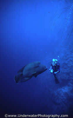 diver napolean wrasse marine life creatures divers diving people scuba underwater red sea egypt pharoh middle east egyptian