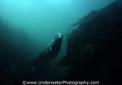 seal seals flippers marine life underwater diving northumberland northumbrian england english angleterre inghilterra inglaterra united kingdom british