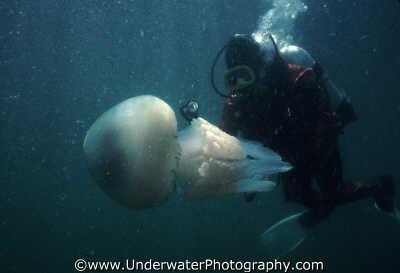 rhizostoma pulmo plankton floating planktonic marine life underwater diving england english angleterre inghilterra inglaterra united kingdom british