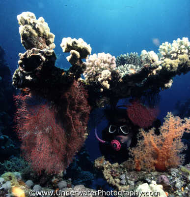 diver looking coral corals attached marine life underwater diving red sea egypt pharoh middle east egyptian